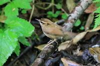 コルリとヤマゲラ - 今日の鳥さんⅡ