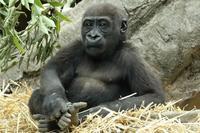 僕は1歳8ヵ月の、ゴリラの男の子(上野動物園) - 旅プラスの日記