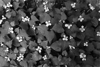 ドクダミの花 - トコトコブログ