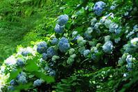 北鎌倉明月院紫陽花1 - 生きる。撮る。