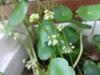 ウォーターマッシュルーム - だんご虫の花