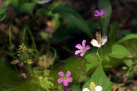 三渓園の花菖蒲と紫陽花No7 - N.Eの玉手箱