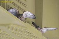 橋の下のチョウゲンボウ① - 奥武蔵の自然