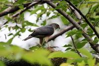 ツミに逢いにその6(餌渡し&雛) - 私の鳥撮り散歩
