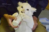 2019.6.15 東北サファリパーク☆ホワイトライオンのイチゴちゃん【White lion baby】 - 青空に浮かぶ月を眺めながら