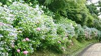 鎌倉・雨の紫陽花 - 黒猫屋のにくきゅう