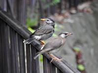 ムクドリ幼鳥@区内緑道 - 青爺の野鳥日記
