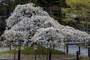 桜咲く京都2019 千眼桜(大原野神社) - 花景色-K.W.C. PhotoBlog