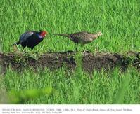印旛沼北部調整池とその近辺 2019.5.27 - 鳥撮り遊び