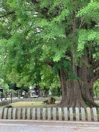 巨木の銀杏。 - sweat lodge @ blog