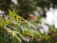 楓のプロペラたち - 八ヶ岳 革 ときどき くるみ