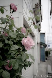 薔薇 - SCENE