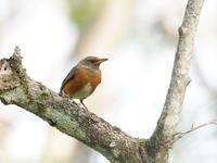 アカハラで賑やかな森林植物園 - コーヒー党の野鳥と自然 パート2