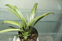 """Schismatoglottis sp. '初霜錦' """"Murung raya"""" - PlantsCade -2nd effort"""
