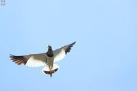 ケリの威嚇 - 野鳥公園