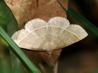 初見のミスジアツバ、再見のオオシラホシアツバ - 花と葉っぱ