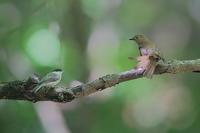 オオルリ(メス)とコガラ(幼鳥)の睨めっこ - 上州自然散策2