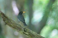 クロツグミの枝止まり - 上州自然散策2