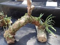 「古典植物と山野草展」はじまりました! - 手柄山温室植物園ブログ 『山の上から花だより』