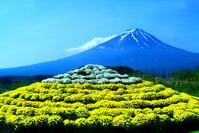 令和元年6月の富士(7)河口湖の花々と富士 - 富士への散歩道 ~撮影記~