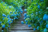 明月院ブルーに会いたくて~♪ - エーデルワイスPhoto