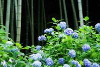 北鎌倉明月院紫陽花2 - 生きる。撮る。