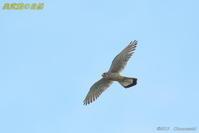 チョウゲンボウの飛翔」 - 奥武蔵の自然