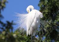 サギのコロニーで飾り羽を - 私の鳥撮り散歩