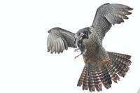 ハヤブサ獲物はムクドリ - 気まぐれ野鳥写真