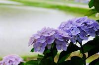 紫陽花 - じょりのmemo