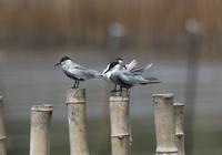 クロハラアジサシ - Love birds !