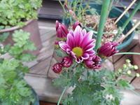 二度咲き菊(レーヌ) - 花空間PHOTO