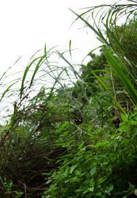 台湾の挵蝶&関東南部のセセリチョウin2019 - ヒメオオの寄り道
