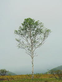 一本の白樺の木 - 風の香に誘われて 風景のふぉと缶