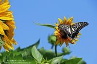 夏空になって向日葵とアゲハチョウ(*^_^*) - 自然のキャンバス