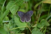 ウラナミジャノメ6月16日 - 超蝶
