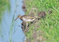 タマシギ - くまさんの鳥撮り