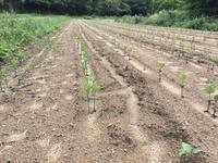 自然栽培の大豆 - 自然栽培 果樹カナン