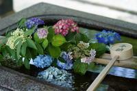 「水にあじさい-真正極楽寺真如堂-Shin-nyo-do.temple」 - ほぼ京都人の密やかな眺め