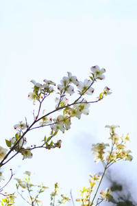 Dogwood Flower - ∞ infinity ∞
