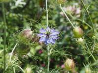 繊細な見た目の花、ニゲラ - 神戸布引ハーブ園 ハーブガイド ハーブ花ごよみ