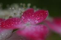 雨上がりのキラキラ紫陽花♪ - 今日もカメラを手に・・・♪
