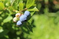 もうすぐ夏至:ブルーベリーが色づき始めました。 - 週刊「目指せ自然農で自給自足」