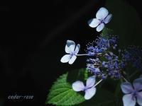 紫陽花・アンダー - 瞳の記憶