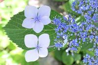 梅雨時の晴れ間と紫陽花 - さいたま日記