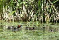カイツブリ - 北の野鳥たち