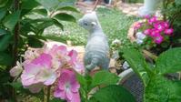 アジサイ&バラの2番花 - Rose & Mary
