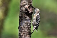 梅雨の晴れ間の野鳥さん - 鳥と共に日々是好日