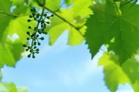 今のぶどうの様子 - ~葡萄と田舎時間~ 西田葡萄園のブログ