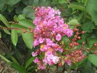 優しそうなピンクのサルスベリ!やはり、梅雨の季節。 - 沖縄山城紅茶 茶摘み日記